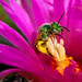 0806_1305 Sweat Bee