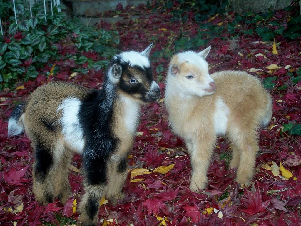 Nigerian Dwarf Goat Kids. www.TheBigWRanch.com | Go to www ...