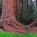 Sequoia National Park - Meadow Panorama (HUGE IMAGE)