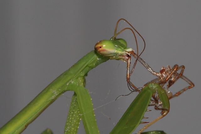 Praying Mantis Eating Spider Praying Mantis Eating a