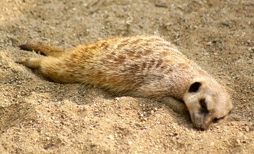 A tired meerkat... | by Deb Malewski