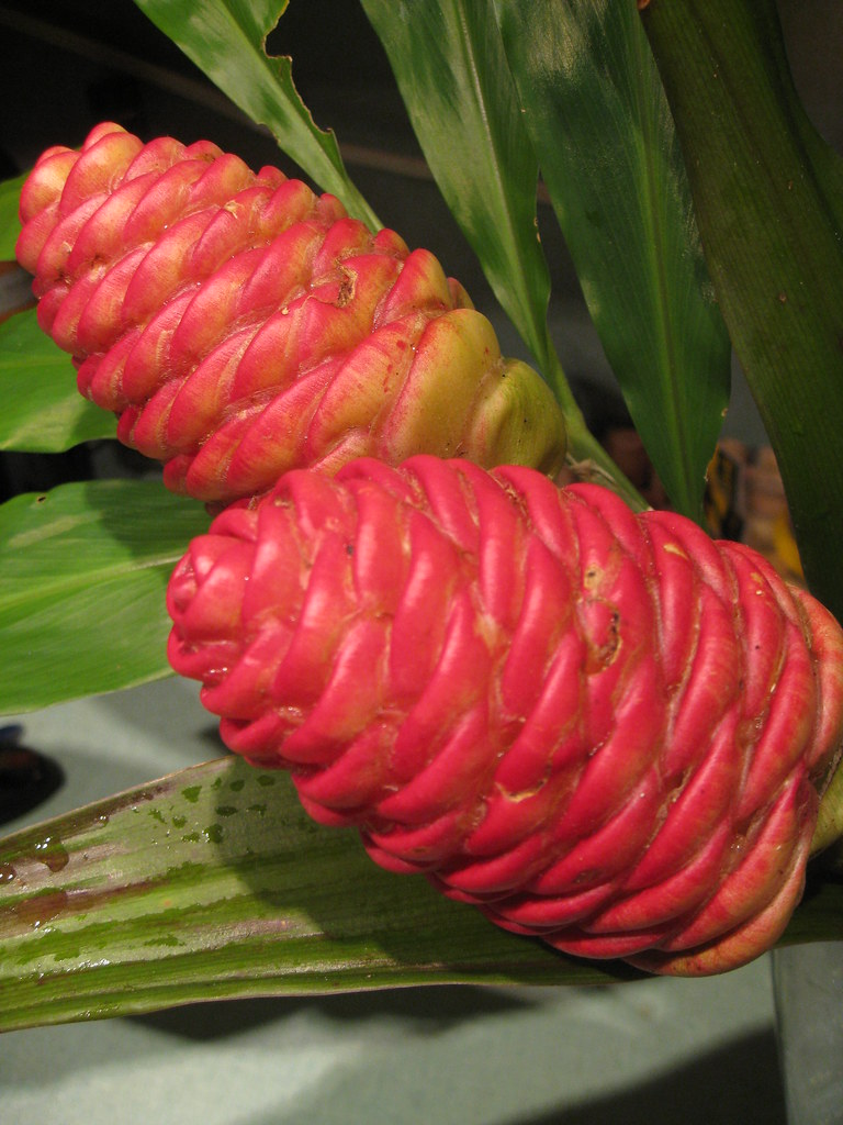 Pinecone Ginger Zingiber Zerumbet This Ginger Lily Puts Flickr