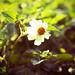 Just a Little Flower ♥