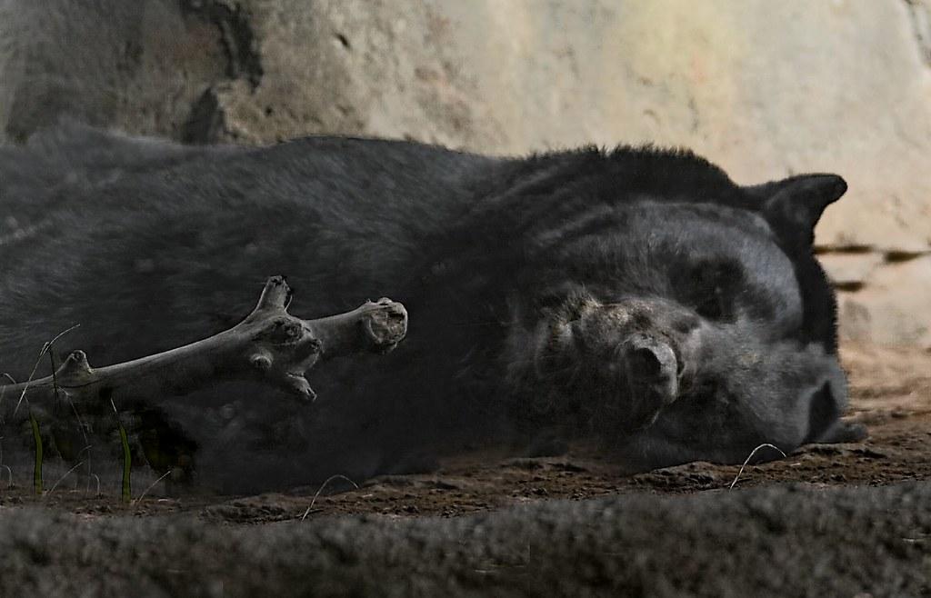 Hush! Don't Wake Him | Black bear sleeping in his cave at ...