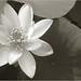 Lotus_Flower_IMGP2442-bw