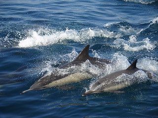 Dolphins! | by cybele-