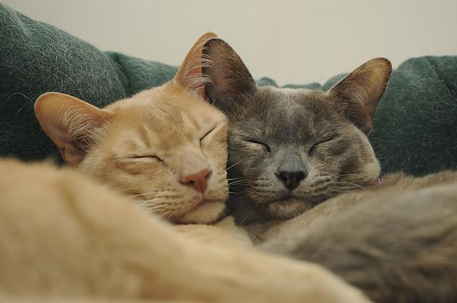 Burmese Cats cuddle