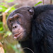 Primus, Chimpanzee, Mahale, Tanzania