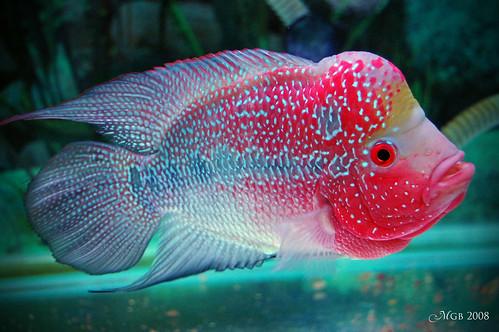 Flower horn flickr photo sharing for Flower horn fish