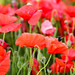 162/365 Poppies & Bee