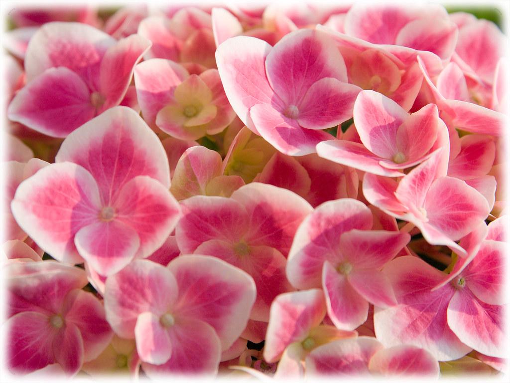 Hydrangea Hortensia | more free wallpapers: vizzzual.com/cat ...