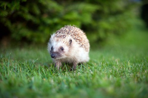 Hedgehog | by supervillain