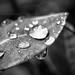 Leafy drops