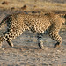 Chobe National Park - Wounded Leopard