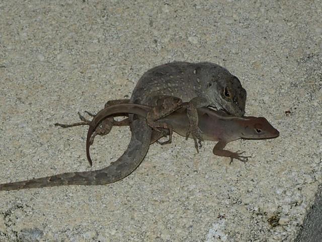 Lizard Sex 81