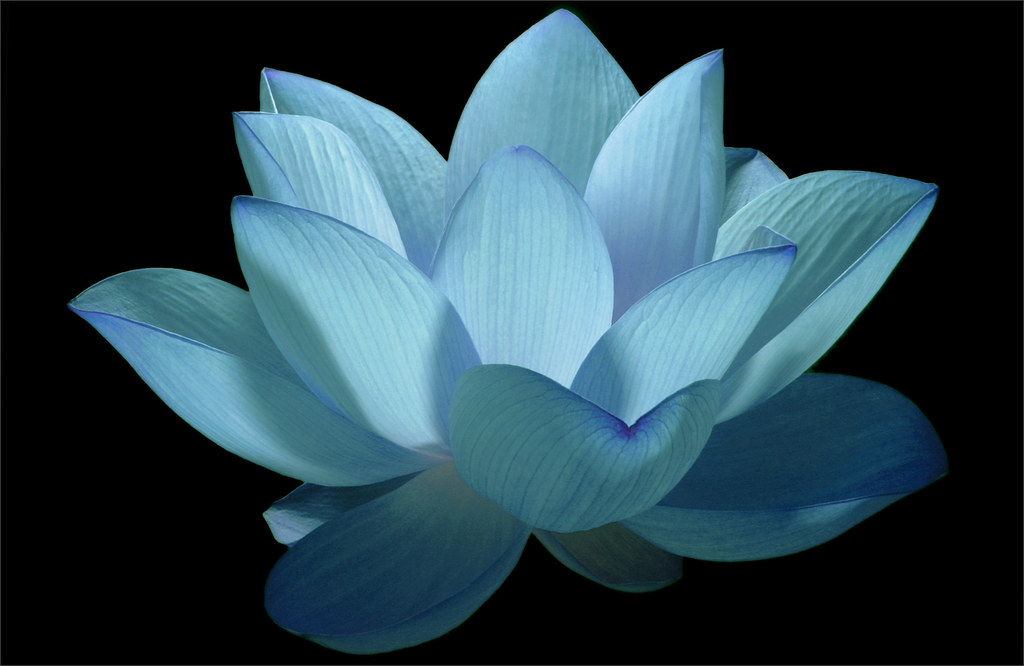Flower blue flower lotus flower water lily water flickr - Fleur de lotus symbole ...