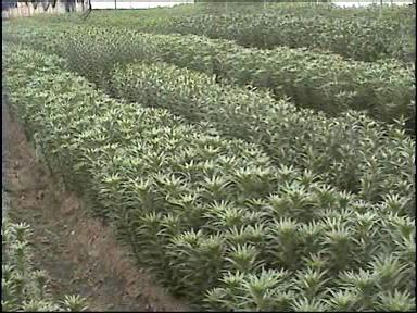 Producci n y recolecci n de lilium en viveros vista del for Produccion de viveros