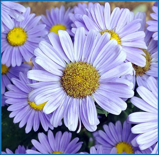 Purple Daisy Flower: Jefferson Was A Horticulturist