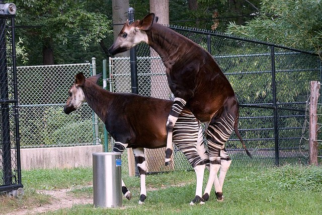 Okapi Sex! | I had a feeling they were going to do it.. It