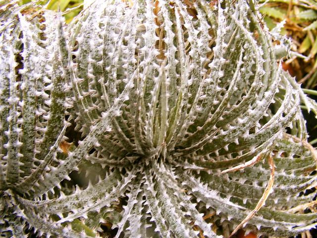 octopus plant | Flickr - Photo Sharing! Octopus Plant
