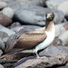 Juvenile Blue-Footed Booby