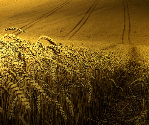 Golden wheat harvest | by B℮n