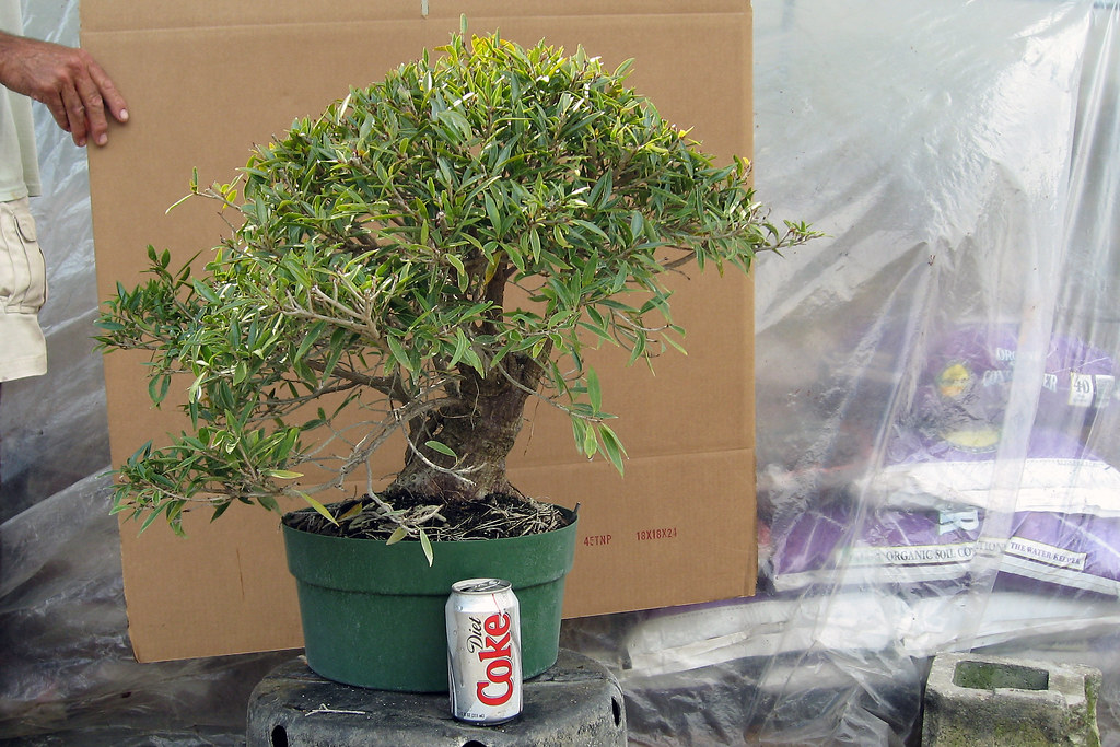Ficus Nerifolia Informal Upright Beginning Of A Bonsai