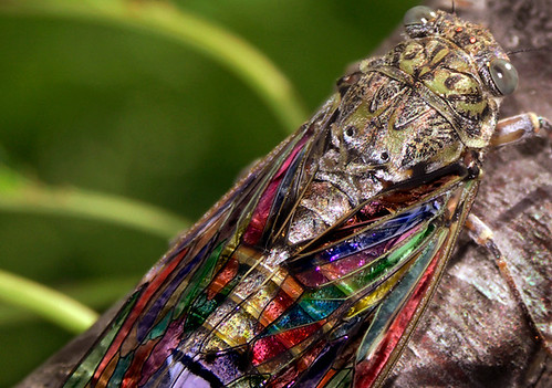 Cigale Vitrail Cicada Stained Glass Flickr Photo