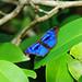 blue_butterflye_(Myscelia_orsis) © mapoitevin