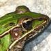 Close up of Southern Leopard Frog - Rana sphenocephala