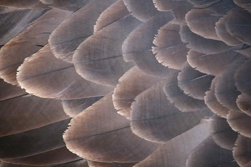 eagle feathers, close up | Flickr - Photo Sharing!