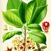 Kola nut (cola acuminata) from Köhler's medicinal plants, 1887