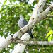 Blue Ground-dove (Claravis pretiosa)