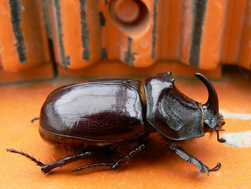 European rhino beetle taking a walk on a concrete mixer | by e³°°°