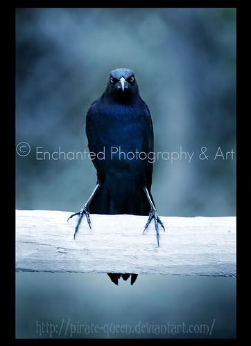 "Mad Crow | Mad Crow © Enchanted Photography & Art ""feeling ..."
