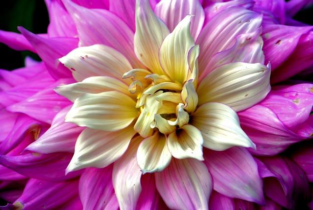 My Dahlia collection # 21 (Flower) Dahlia Kallista's Angel ...