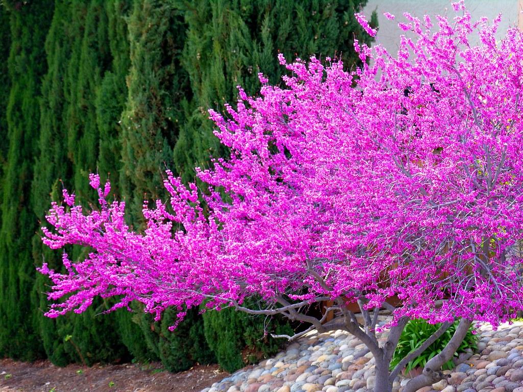 a lavender tree 1 ru tover flickr