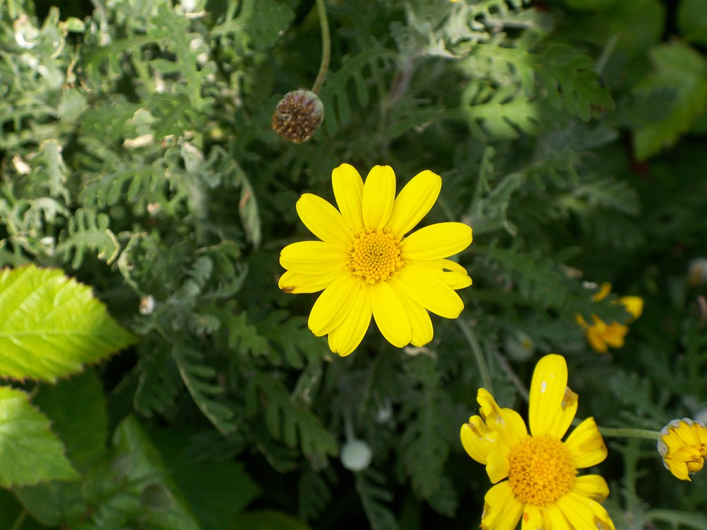 Yellow Daisy Like Flowers 2 Better look at the flowers