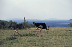 Roaming ostrich | by World Bank Photo Collection