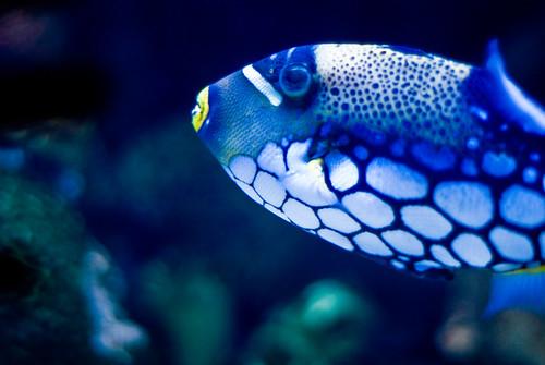 National Aquarium 4 Blue Fish 7 12 08 Flickr