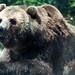 Brown Bear 3