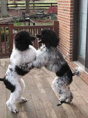 Poodle Dance | by Summerwind_1