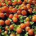 Pincushion berries