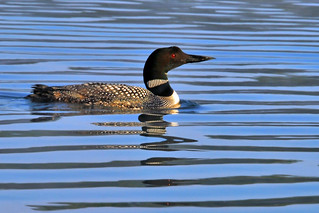 lines and loon | by Steve took it