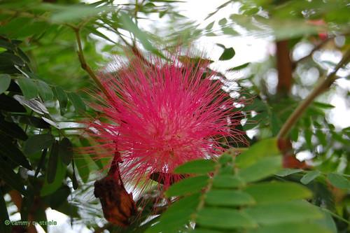 8 graines mimosa arbre soie du japon albizia japanese for Taille d un albizia