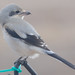 Immature Northern Shrike - First Winter