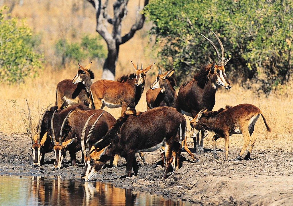 Sable Antelope - South...