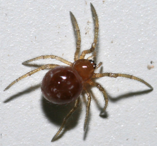 The Teeny Tiny Shiny Red Butt Spider