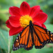 orange butterfly on red flower