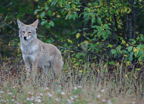 coyote_05 | by Jethro Taylor